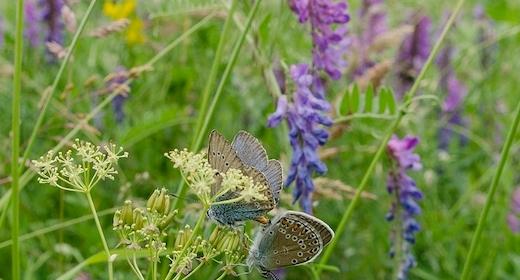 Høvblege tur - Sommerfugle og blomster
