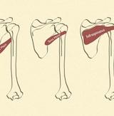 Anatomi/fysiologi - Lægeeksamineret, Modul A