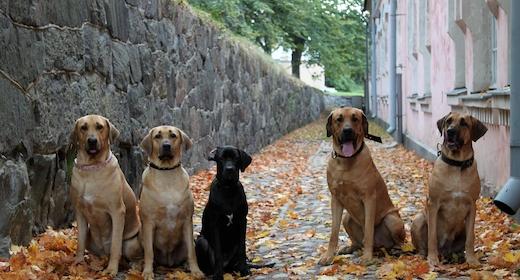 Broholmerhunde i Landsbyen