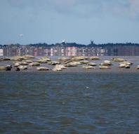 Sælsafari i nationalpark vadehavet med amfibiebåd