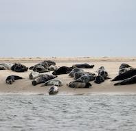 Sælsafari - Robbensafari - Sealsafari Fanø