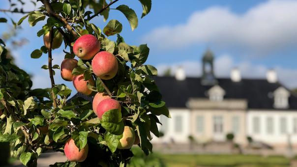 Æbledag i barokhaven på Gl. Holtegaard