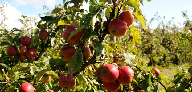 Gratis æblepresning af egne æbler.