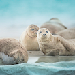 Flere datoer: Sælsafari med båd i Limfjorden