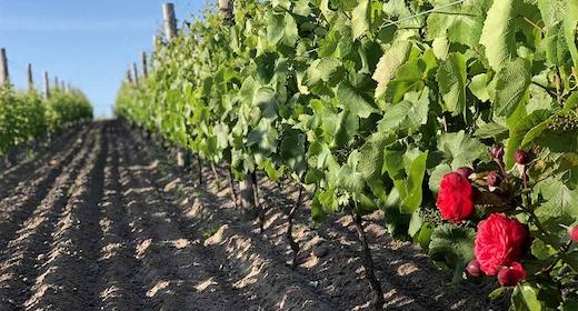 Unik rosésmagning i vinmarken på Nygårdsminde