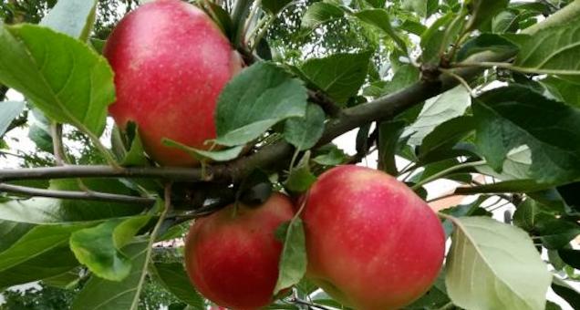 Æbledag i Hammel