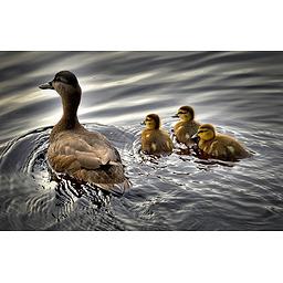 Forskningens Døgn: Min mad forsvandt men kom igen! - svaner, svømmeænder og blishøns' respons på 50.
