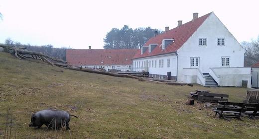Grå-grøn Koncert - klokkefrøer på Røsnæs