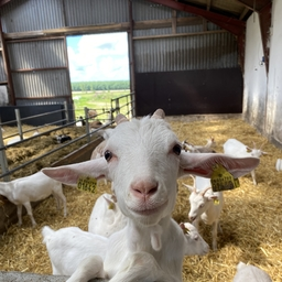 Ud til gederne - gårdbesøg med guide.