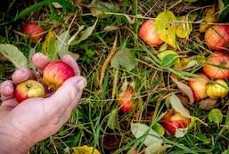Æblets Dag Fejø