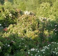 Åben rosenhave på Kornerupgård - En oase i naturen